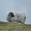 Sheep, Barnabaum Point, Western Ireland