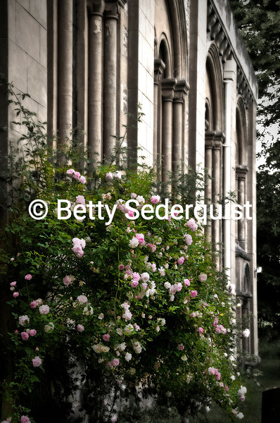 Old Fashioned Roses and Church