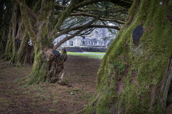 Ancient Trees, Cong Abbey