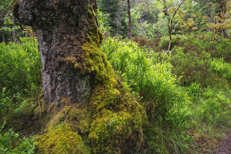 River Garry Mossy Tree