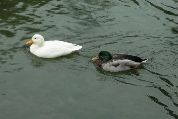 Ducks on the River Wye.......