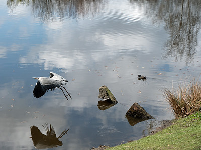 The stork on flight and reflection in the lake