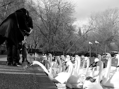 Swans eagerly waiting for their feed
