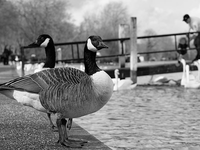 Canadian geese on river thames embankment, Windsor