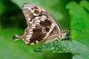 Swallowtail_IMG_0332
