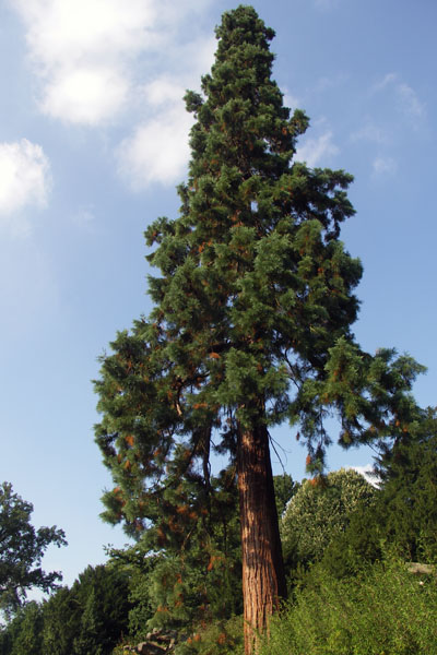 Chatsworth pine tree. It's in an area of the garden known as the Pinetum, created by the 6th Duke in 1829, and planted with 200 conifers, of many different varieties.