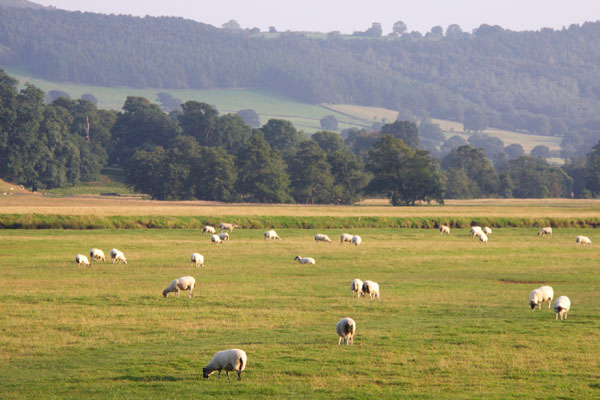 Throughout England, I saw sheep grazing everywhere. Very picturesque!