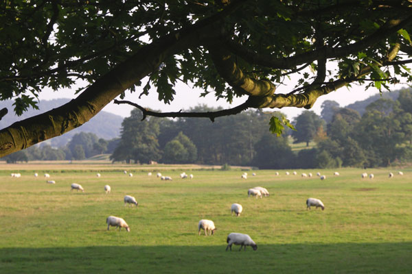 Walking near the entrance to Chatsworth, I saw sheep grazing on many fields.
