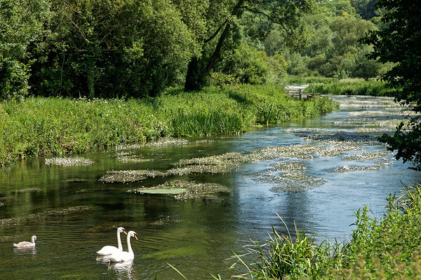 English summer with family of swans on the River Avon
