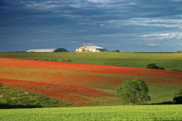 Red gash of poppies across the green Cotswold hills
