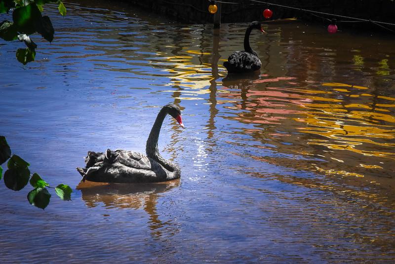 dawlish black swans devon