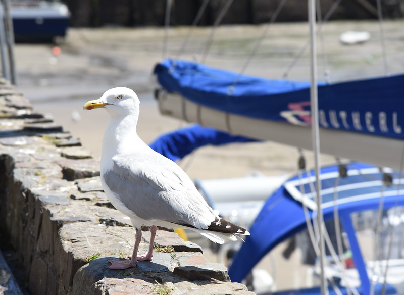 seagull ilfracombe harbor