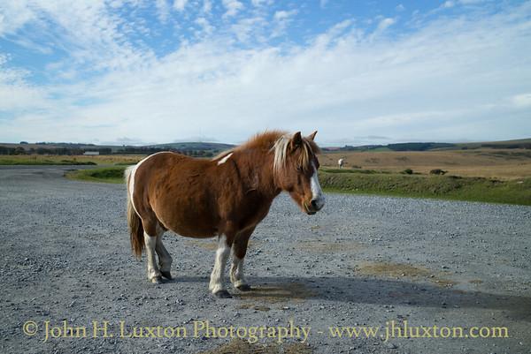 Dartmoor Ponies, Dunnabridge, Dartmoor, Devon - October 25, 2018