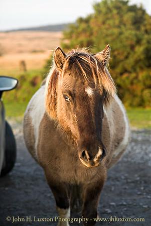 Dartmoor Ponies, Dunnabridge, Dartmoor, Devon - October 26, 2017