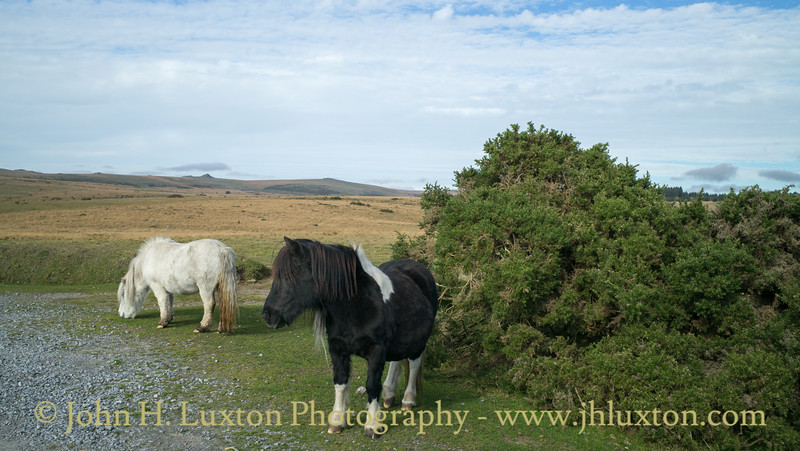 Dartmoor Ponies, Dunnabridge, Dartmoor, Devon - October 25, 2018