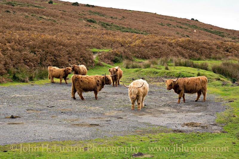 Highland Cattle Meeting - Dartmoor - October 28, 2016