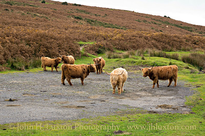 Highland Cattle Meeting - Dartmoor - October 28, 2016