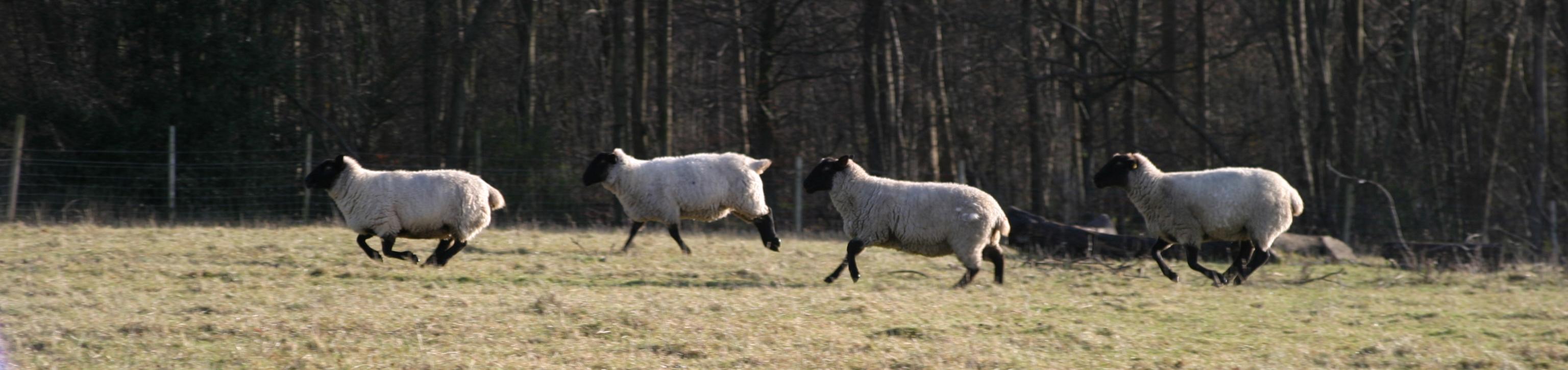 Sheep, Great Missenden