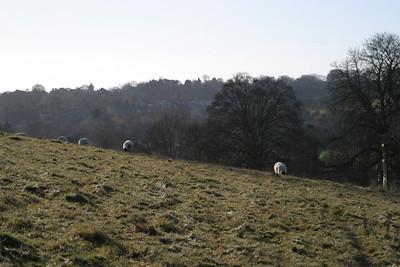 Sheep, Great Missenden