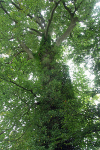 I love some of the trees in Hampshire. This one was in Steventon.