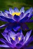 Lillies_MG_3046