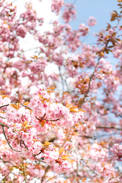 #CherryBlossomLondon
