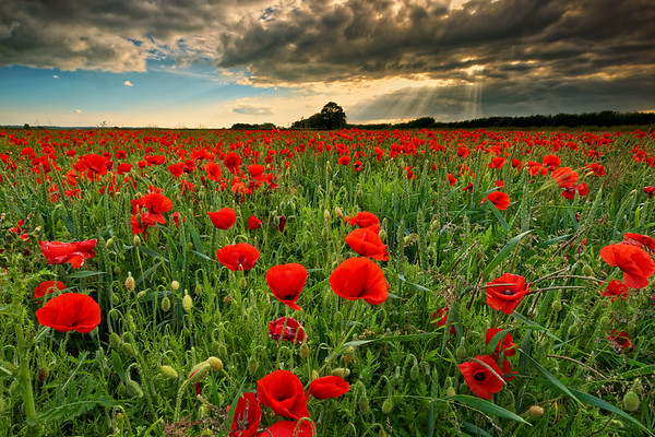 Poppies and wheat in a Cotswold field, England
