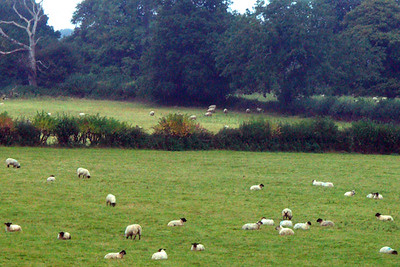 View from the bus. Sheep are grazing everywhere in the Cotswolds, which was the major woollen century of England for centuries.