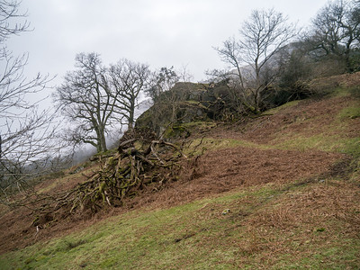 Blown over tree