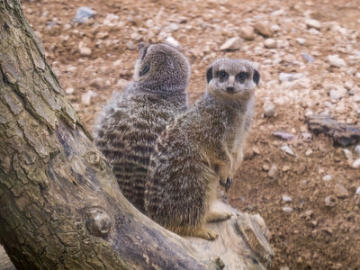 Mercats at London Zoo