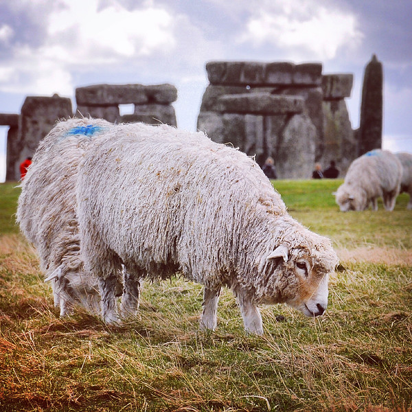 Sheepish at Stonehenge. 2016.