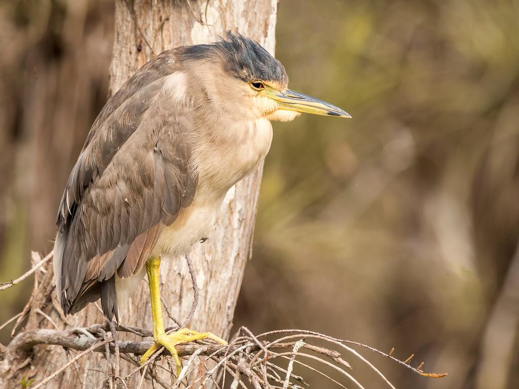 Black Crowned Night Heron, Scenic Loop Road, Big Cypress Swamp, FL