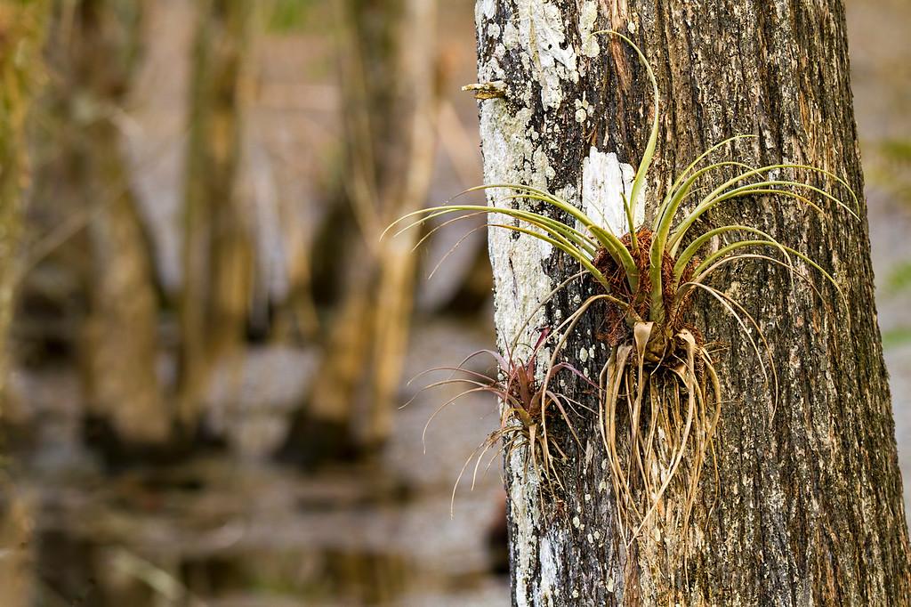 Tillandsia on Cypress Tree, Six Mile Slough, Ft. Myers, FL