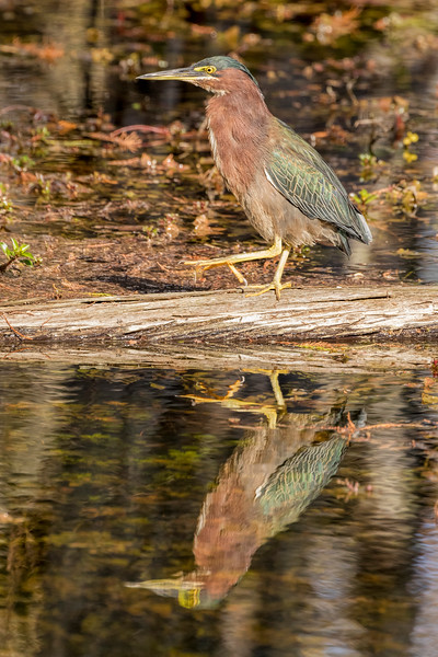Green Heron with Reflection
