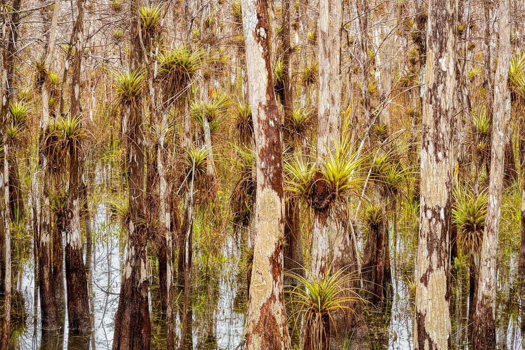 Tillandsia and Bald Cyprus, Big Cypress Swamp, FL