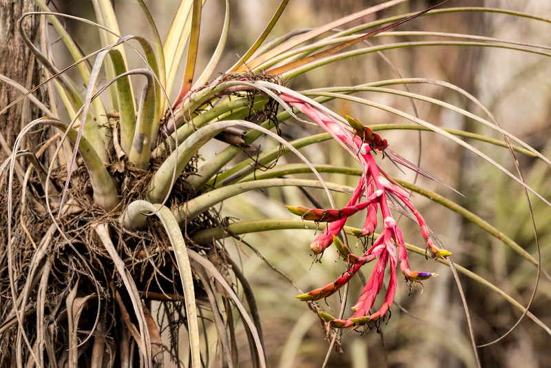 Blooming Tillandsia, Great Cypress Swamp, FL