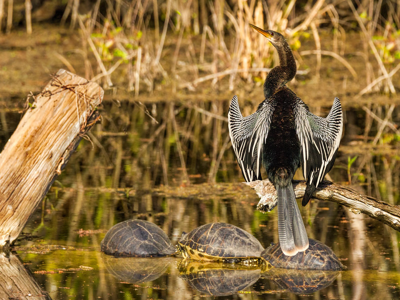 Anhinga, Six Mile Slough, Ft. Myers, FL