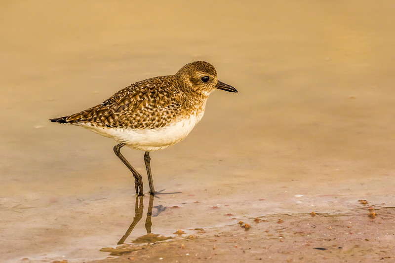 Plover, Fort Myers Beach, Fla