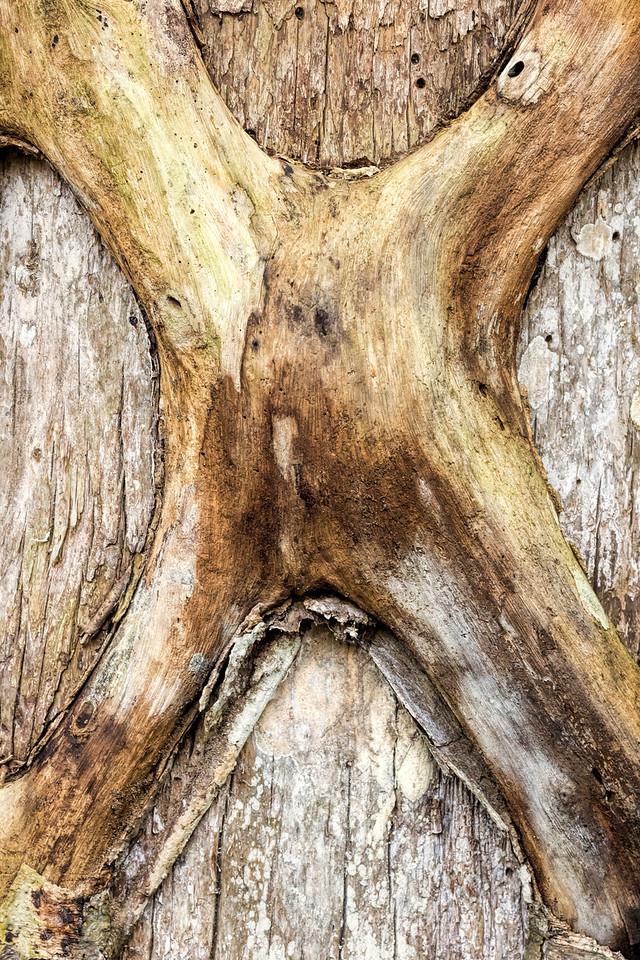 Strangler Fig, Big Cypress Swamp, FL
