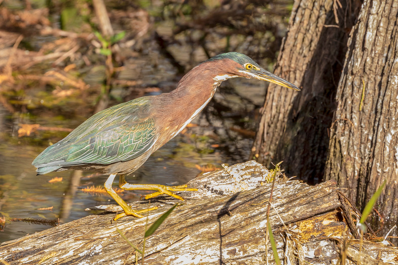 Green heron, Big Cypress National Preserve, Fla