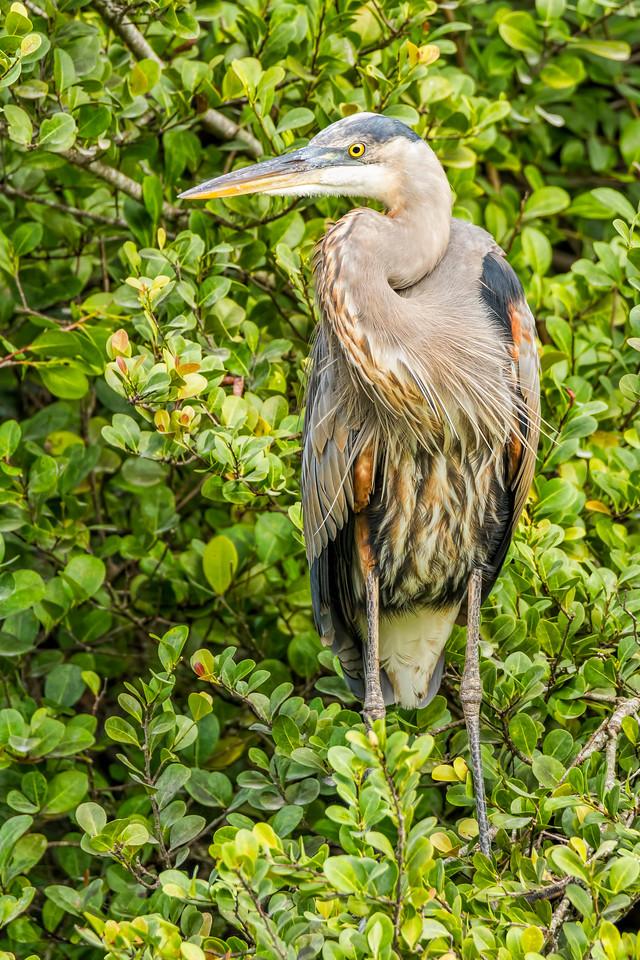Great Blue Heron, Big Cypress Swamp, FL