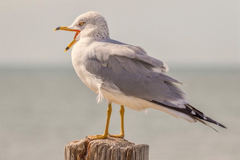 Ring-Billed Gull, Fort Myers Beach, Fla