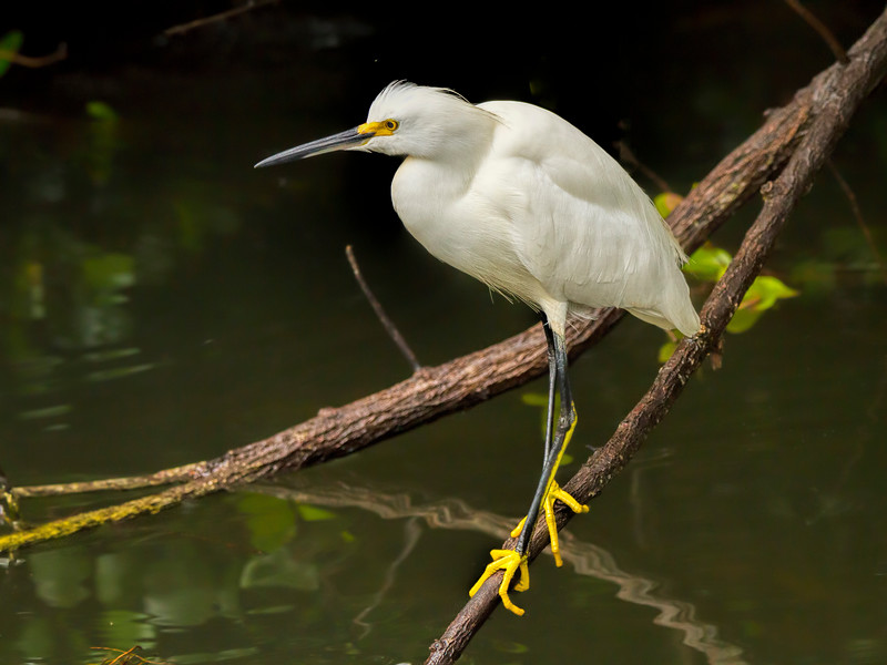 Snowy Egret, Scenic Loop Road, Big Cypress National Preserve, FL