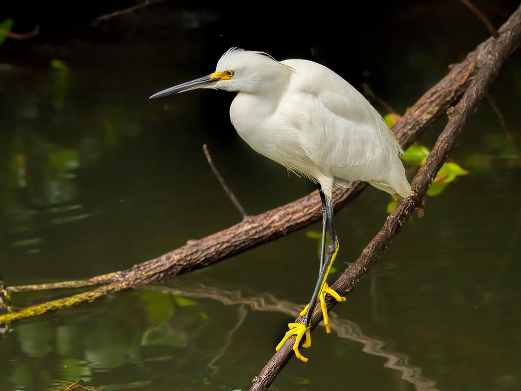 Snowy Egret, Scenic Loop Road, Big Cypress National Preserve, FL