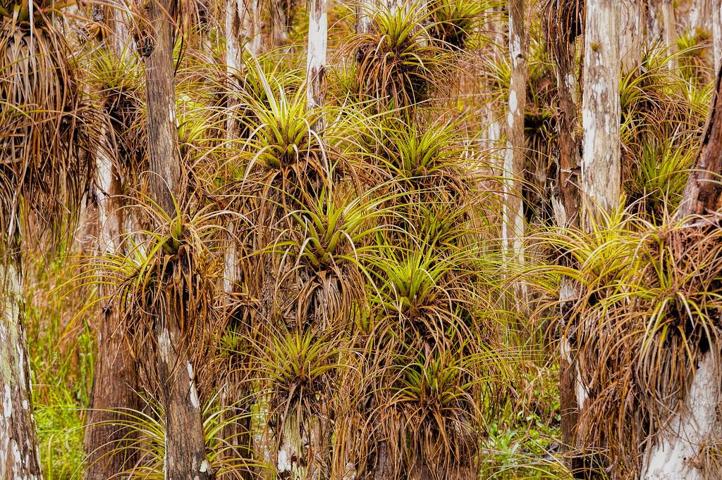 Tillandsia on Bald Cypress, Scenic Loop Road, Big Cypress Swamp, FL