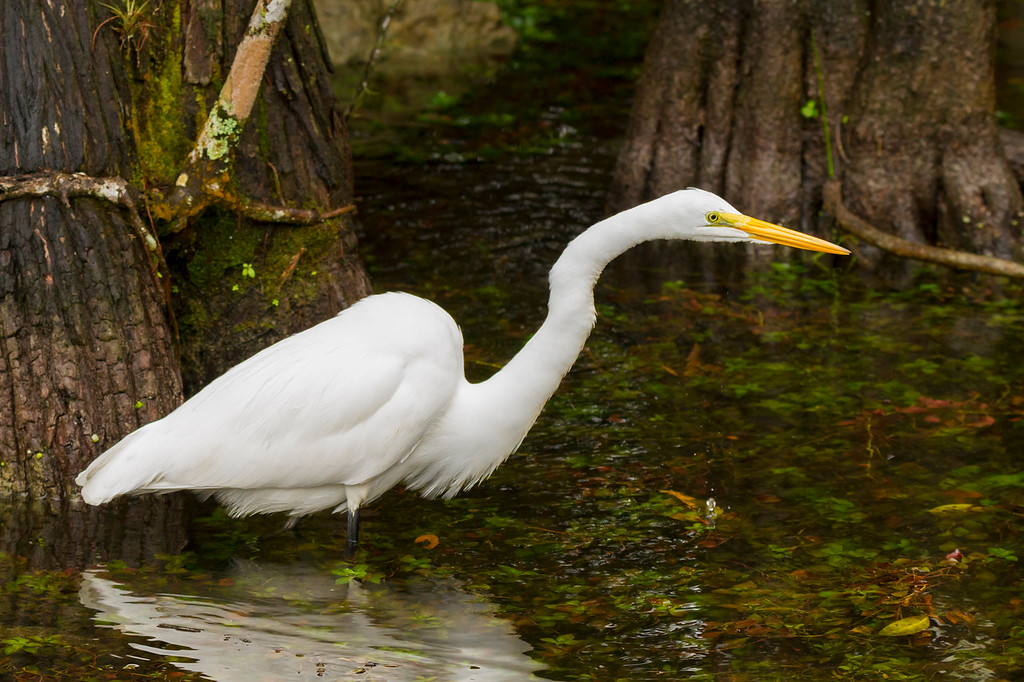 Great Egret, Scenic Loop Road, Big Cypress Swamp, FL