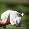 Male white pup-6