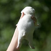 Male white pup-3