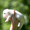 Male white pup-2