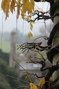 Autumnal wisteria, West Dean Gardens